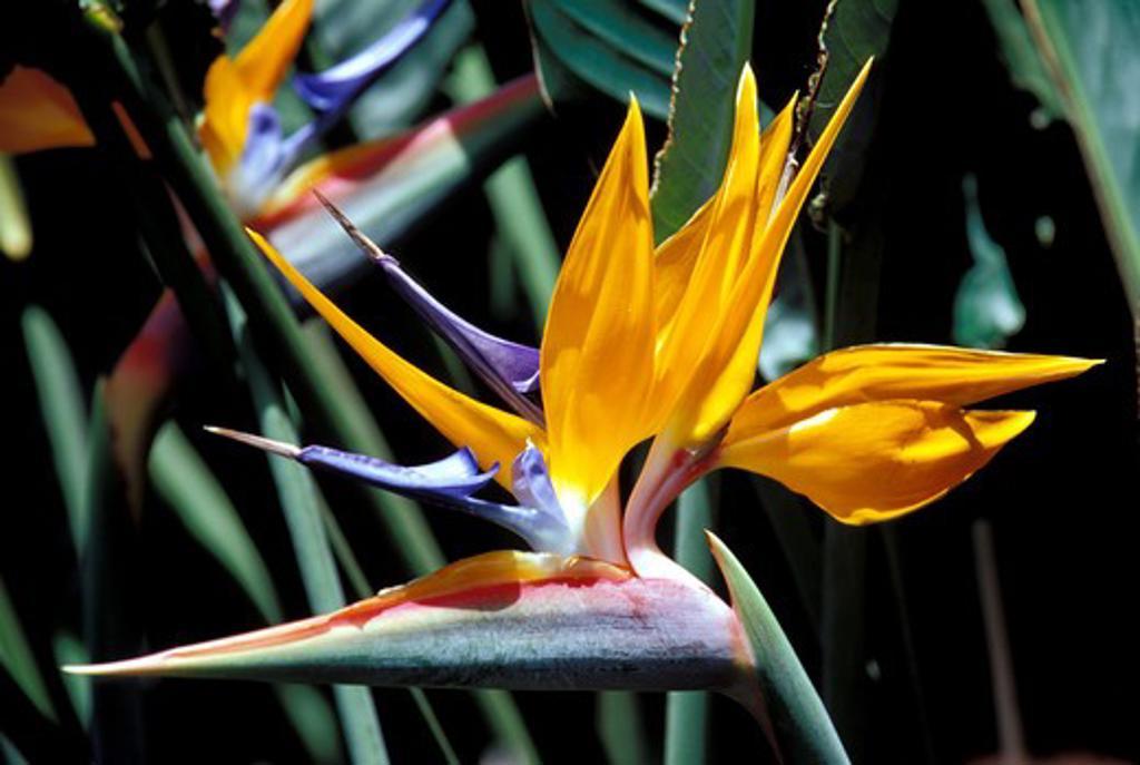Stock Photo: 4163-18522 CUBA, NEAR PINAR DEL RIO, SOROA, ORCHID FARM AND BOTANICAL GARDEN, BIRD OF PARADISE FLOWER