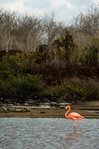 ECUADOR, GALAPAGOS ISLANDS, SANTA CRUZ ISLAND, BACHAS BEACH, GREATER FLAMINGO IN LAGOON : Stock Photo