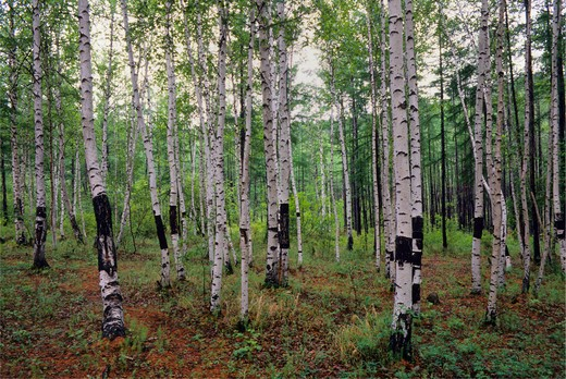 RUSSIA, SIBERIA, NEAR CHITA, BIRCH FOREST : Stock Photo