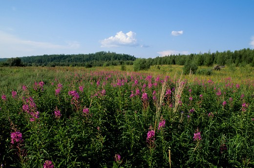 RUSSIA, SIBERIA, YENISEY RIVER, LEBED, NATURE PRESERVE, MEADOW WITH FIREWEED, TAIGA FOREST : Stock Photo