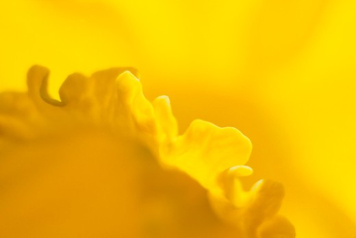 CLOSE-UP OF DAFFODIL FLOWER IN APRIL : Stock Photo