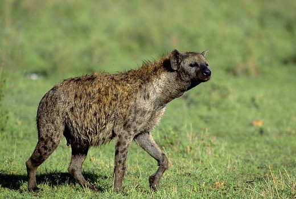 Tanzania, Serengeti, Spotted Hyaena : Stock Photo