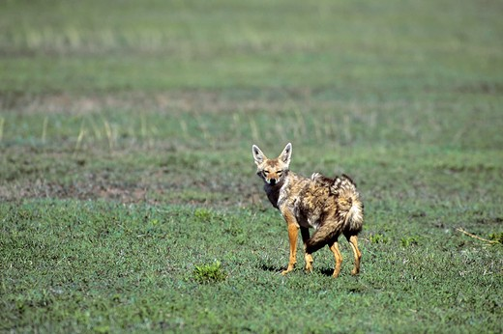 Stock Photo: 4163-20007 Tanzania, Serengeti, Common Jackal