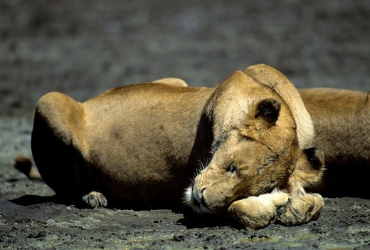 Tanzania, Ngorongoro Crater, Lioness Sleeping : Stock Photo
