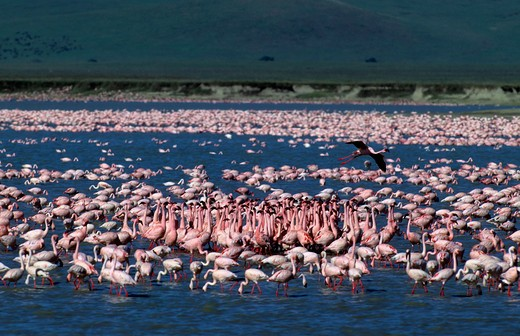 Tanzania, Ngorongoro Crater, Lesser Flamingos, Forming Groups, (Courtship Behavior) : Stock Photo