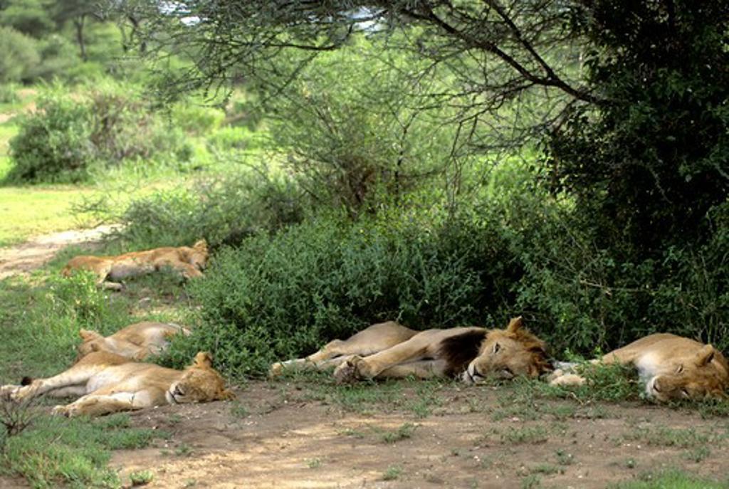 Stock Photo: 4163-20125 Tanzania,Great Rift Valley Lake Manyara, Lion Pride Sleeping
