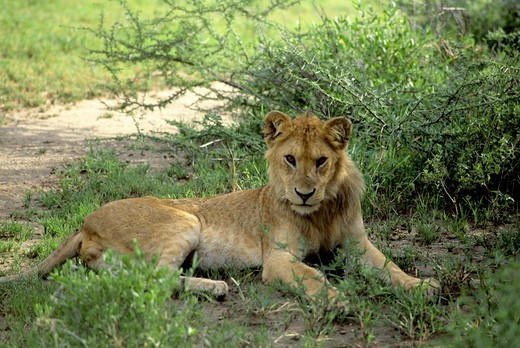 Stock Photo: 4163-20126 Tanzania,Great Rift Valley Lake Manyara, Young Male Lion