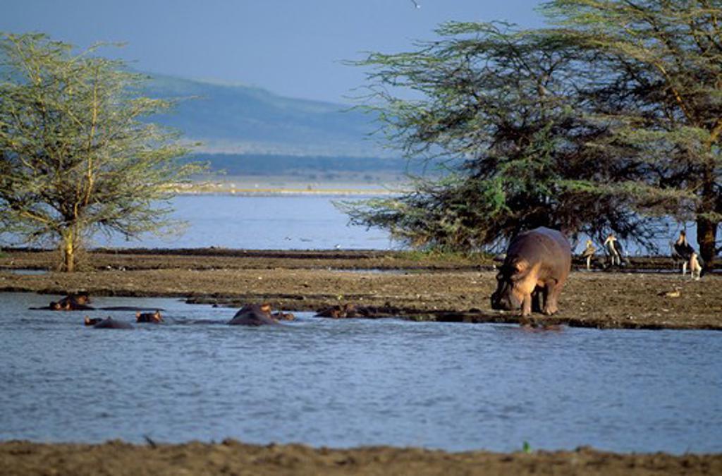 Tanzania,Great Rift Valley Lake Manyara, Hippopotamuses : Stock Photo