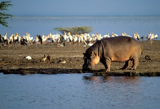 Stock Photo: 4163-20150 Tanzania,Great Rift Valley Lake Manyara, Hippopotamus Walking Along Shore