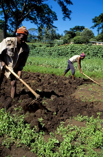 Tanzania, Near Arusha, People Working In Fields : Stock Photo