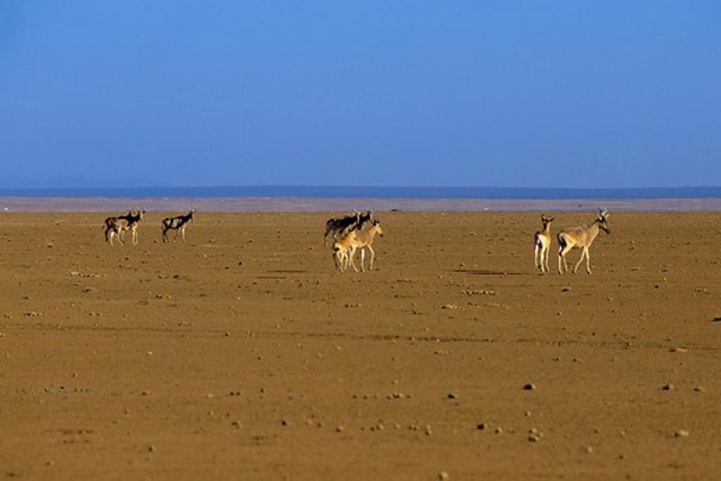 Kenya, Amboseli, Hartebeestes : Stock Photo