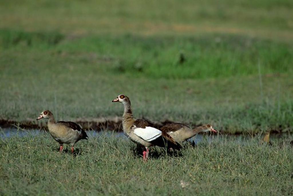 Kenya,Amboseli Nat'L Park Egyptian Geese : Stock Photo