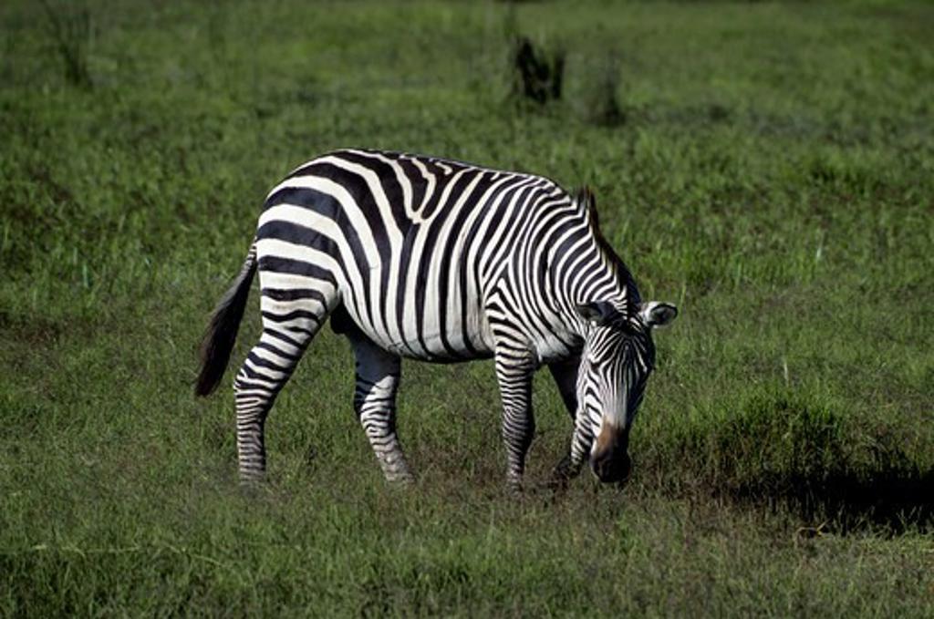 Kenya,Amboseli Nat'L Park Zebra : Stock Photo