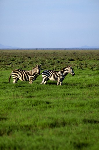 Stock Photo: 4163-20213 Kenya, Amboseli Nat'L Park Zebras