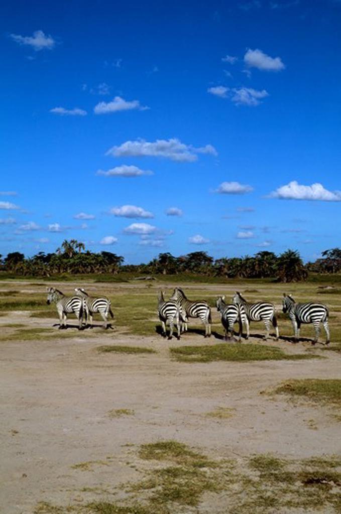 Kenya,Amboseli Nat'L Park Zebras : Stock Photo