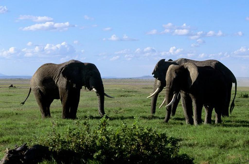 Stock Photo: 4163-20234 Kenya,Amboseli Nat'L Park Elephants