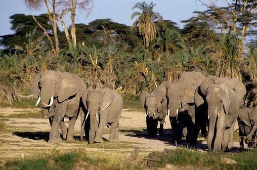 Kenya,Amboseli Nat'L Park Elephants : Stock Photo