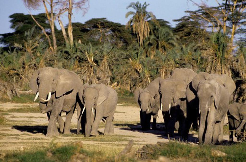Stock Photo: 4163-20239 Kenya,Amboseli Nat'L Park Elephants