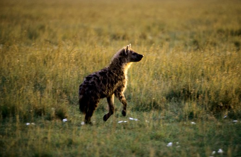Kenya, Masai Mara, Spotted Hyaena : Stock Photo