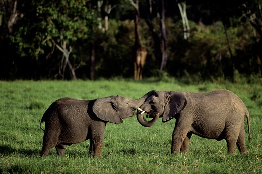 Stock Photo: 4163-20278 Kenya, Masai Mara, Young Elephants Playing