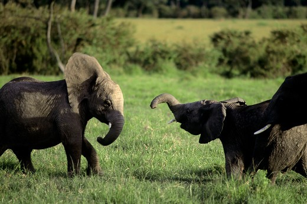 Kenya, Masai Mara, Young Elephants Playing : Stock Photo