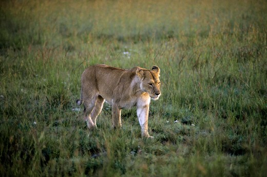 Kenya, Masai Mara, Lioness : Stock Photo