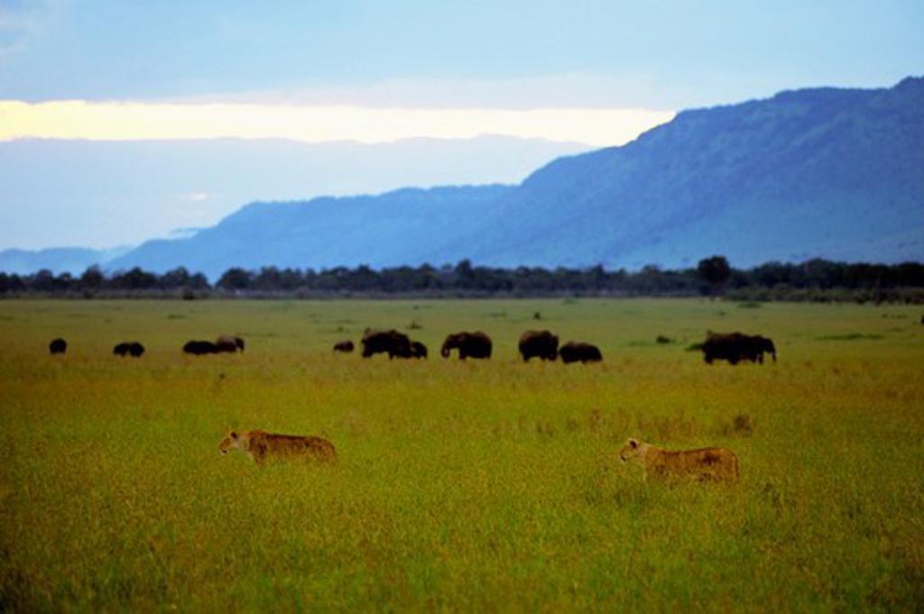 Stock Photo: 4163-20302 Kenya, Masai Mara, Female Lions Stalking Through Grass, Elephants Background
