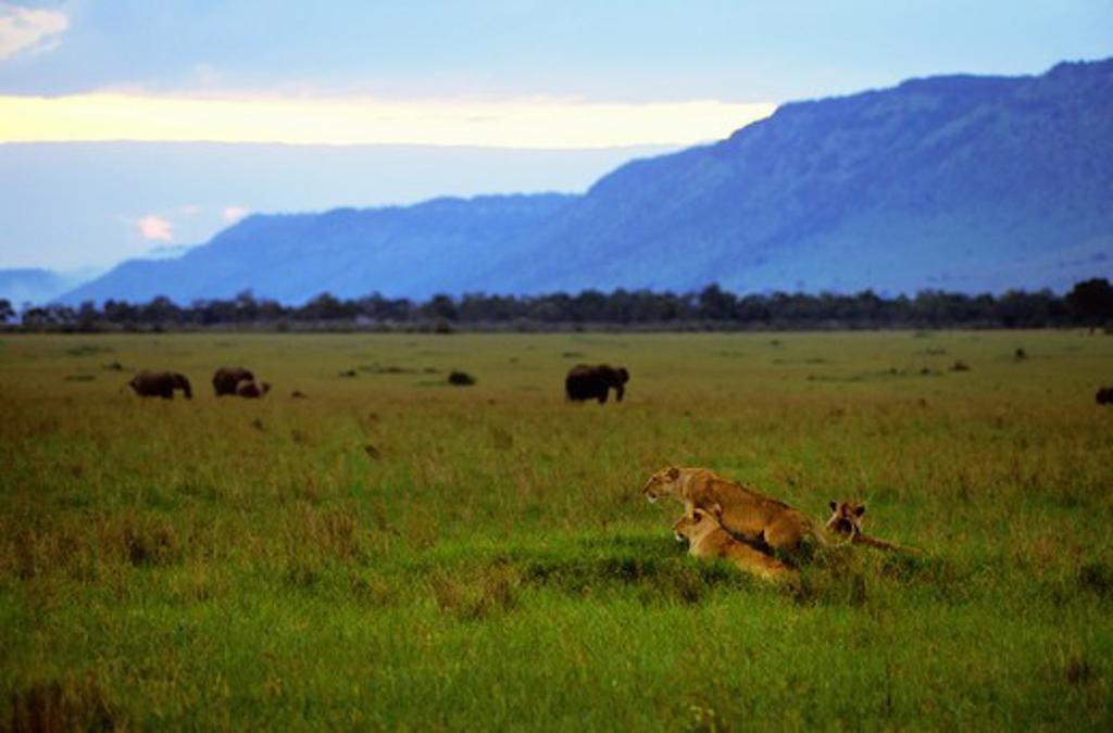 Stock Photo: 4163-20303 Kenya, Masai Mara, Female Lions, Elephants Background