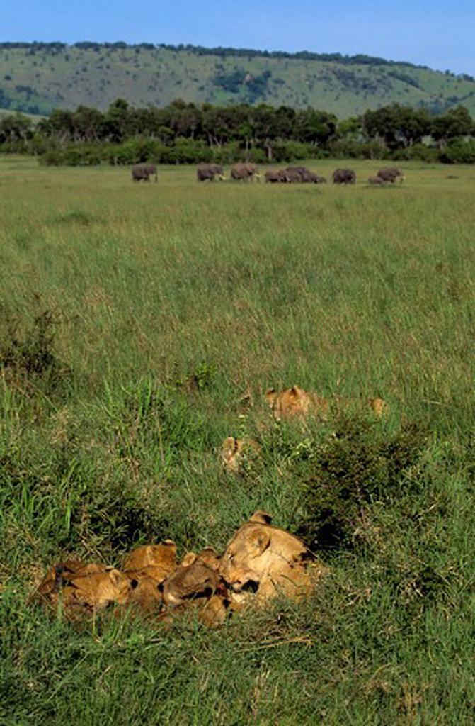 Kenya, Masai Mara, Female Lion With Cubs, Feeding On Hartebeest Kill : Stock Photo