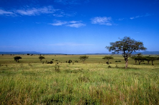 Tanzania, Serengeti, Grass Plain With Trees : Stock Photo