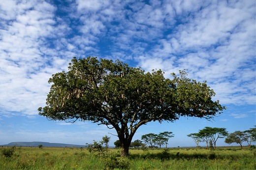 Tanzania, Serengeti, Monkeybread Tree Or Sausage Tree : Stock Photo