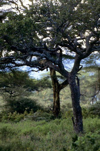 Stock Photo: 4163-20377 Tanzania, Serengeti, Leopard Sleeping In Tree