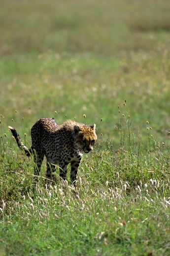 Tanzania, Serengeti, Cheetah In Grass : Stock Photo