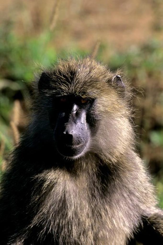 Stock Photo: 4163-20390 Tanzania, Serengeti, Baboon, Close-Up