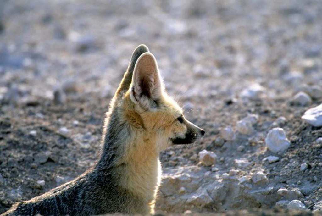 Stock Photo: 4163-20417 Namibia, Etosha National Park, Cape Fox