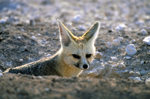 Stock Photo: 4163-20418 Namibia, Etosha National Park, Cape Fox