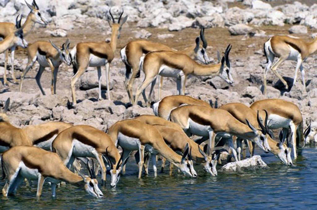 Stock Photo: 4163-20422 Namibia, Etosha National Park, Springboks Drinking At Waterhole