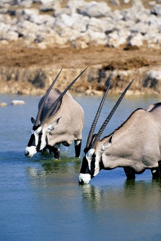 Stock Photo: 4163-20427 Namibia, Etosha National Park, Oryx Drinking