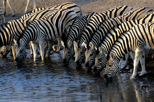 Namibia, Etosha National Park, Zebras Drinking At Waterhole : Stock Photo