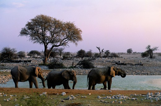 Stock Photo: 4163-20435 Namibia, Etosha National Park, Elephants At Waterhole