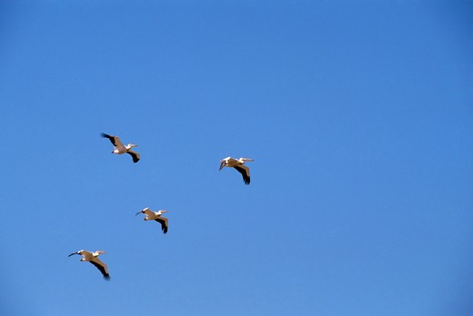 Namibia, Skeleton Coast National Park, White Pelicans In Flight : Stock Photo
