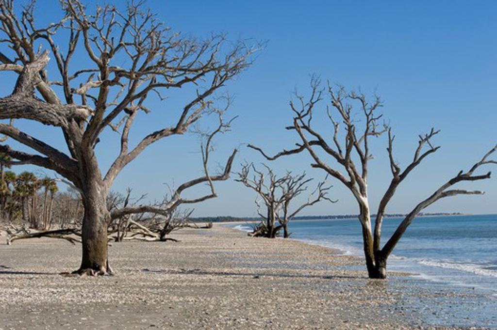 USA, South Carolina, Edisto Island, Botany Bay, Beach Covered With Sea Shells, Dead Trees : Stock Photo