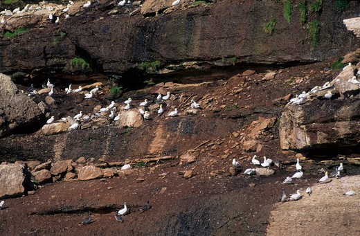 CANADA, QUEBEC, GASPE, BONAVENTURE IS., GANNET COLONY WITH CHICKS IN CLIFFS : Stock Photo