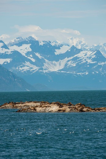 Steller sea lions (Eumetopias jubatus) resting on one of the Marble Islands with the Fairweather Mountain range in background, Glacier Bay National Park, Alaska, USA : Stock Photo