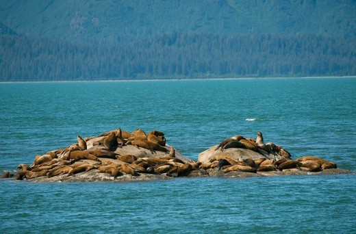 Stock Photo: 4163-21216 Steller sea lions (Eumetopias jubatus) resting on one of the Marble Islands, Glacier Bay National Park, Alaska, USA