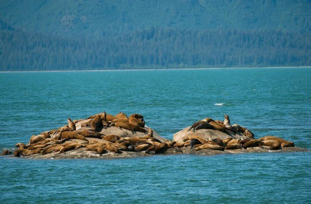 Steller sea lions (Eumetopias jubatus) resting on one of the Marble Islands, Glacier Bay National Park, Alaska, USA : Stock Photo
