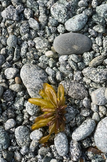 Close-up of granite pebbles with kelp on beach in bay at George Island, off Chichagof Island, Tongass National Forest, Alaska, USA : Stock Photo