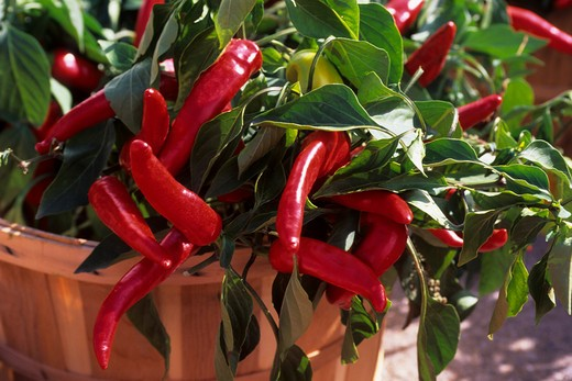 Stock Photo: 4163-2733 CANADA, ONTARIO, WATERLOO COUNTRY MARKET, CLOSE-UP OF PEPPERS ON BUSH