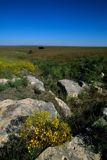 Stock Photo: 4163-2987 USA, KANSAS, FLINT HILLS, NEAR STRONG CITY, TALLGRASS PRAIRIE NATIONAL PRESERVE, BROOMWEED