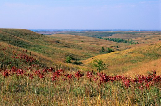 USA, KANSAS, MANHATTAN, KONZA PRAIRIE RESEARCH NATURAL AREA, LANDSCAPE WITH RED SUMAC LEAVES : Stock Photo